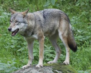 Ny överklagan  rörande skyddjakten på en varg. Nu är det Länsstyrelsen Dalarna som överklagar.