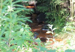 Slaktavfallet har legat i en bäck i närheten av Näsberg.