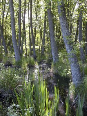 Typiskt. Alstrandskogar finns det gott om i Ekopark Ridö-Sundbyholmsarkipelagen. Här kan besökaren bland annat läsa om den skyddsvärda skalbaggen alpraktbagge som bor i solbelysta alstammar. Foto: Mats Larshagen