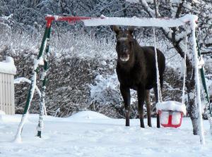Orädda älgar härjar i trädgårdarna på Alnö. Frågan är om de är sugna på att gunga också och inte bara äta upp växterna.