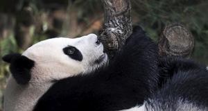 Djurparkerna i Singapore försöker höja medvetenheten kring utsatta djur.