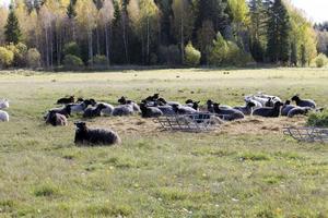 Får i hage kan bli ett minne blott om varg placeras i Kessmansbo och blir kvar där. Här syns de får som Mattias Bergman och Anna Andersson föder upp tillsammans.