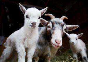 Nyfödda. Totalt tre små killlingar finns i dag på gården, men fler är på väg.