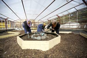 Keshvar Ebrahimi, Feizeh Hashemi och Isgereda Solomon gör i ordning jorden inför planteringen i Kretsloppshusets växthus.