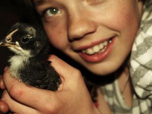Anna Olofsson från Strömsund passade på att ta en bild på sinlillasyster när hon hälsade på några veckor gamla kycklingar.