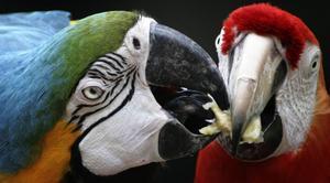 Arapapegojor, liksom alla papegojor, har extremt många nervceller, neuroner, i sina hjärnor.   Foto: Sakchai Lalit/AP/TT