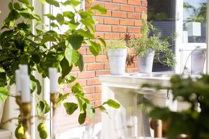 Citronträdet har växt en hel del sedan Anne Jäder köpte det i fjol.