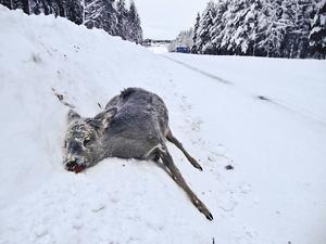 Drygt 700 rådjur förekom i viltolyckor på vägarna i Jämtland/Härjedalen förra året. Bilden är tagen vid infarten till Spikbodarna strax utanför Östersund.