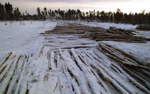 En åtta meter bred och 200 meter stor matta av virke har lagts ut på myren där räddningsmaskinerna och därefter timmerbilarna ska köras.Foto: Ingvar Ericsson