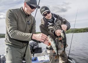 Mitt i ett abborrstim. Tony Nyman och sportfiskeredaktör Lasse Hallberg fick hugg samtidigt.