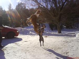 Mina älskade hundar busar med husse och snöbollar, som ni kan se kan dom hoppa oerhört högt. Hundarna är av rasen American staffordshire terrier och staffordshire bullterrier, dessa 2 raser är kända för att kunna hoppa extremt högt, i Usa kallar man amstaffar för basketballs på grund av sin lätt och smidighet.Kan intyga att ett gunnebo staket är en enkel match för dessa;-)