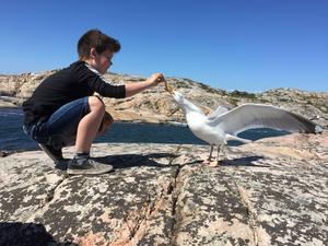 Sonen Liam, 9 år, matar en fiskmås från handen. Naturreservatet Tjurpannan.