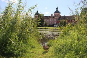 När vi besökte Gripsholms slott i fredags skulle jag ta ett kort över slottet och tyckte jag hittade en fin öppning i vassen där jag kunde ta kortet. Plötsligt hoppade en and upp mitt i bilden, men det blev ju ganska bra.