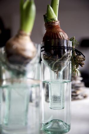 Amaryllis- eller hyacintvaser av vinflaskor: Ta bort etiketten. Sätt på silvertejp strax ovanför mitten av flaskan, olja in längst med övre kanten av silvertejpen och rista efter den med en glasskärare. Ta bort tejpen. Håll sedan i flaskan i båda ändar medan du ömsom häller skållhet, ömsom iskallt vatten tills den spricker i två delar. Sandpappra ytan. Vänd flaskhalsen upp och ner i flaskan, fyll med vatten och sätt blomman där när du tagit bort jorden. Dekorera med grankvistar och kottar.   Obs! Ha gärna några extra flaskor på lager för de går lätt sönder när man är ovan.
