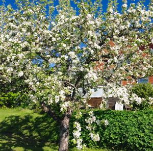 Ok, vad äppelträden blommar i år.