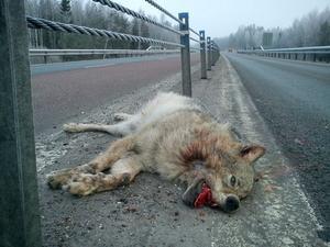 Det var vid Testeboån på E4 några kilometer norr om Gävle som vargkroppen hittades på söndagsmorgonen.