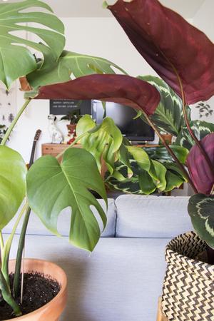 Växter högt och lågt i hemma hos Ina och Maria. Här en monstera och en calathea.
