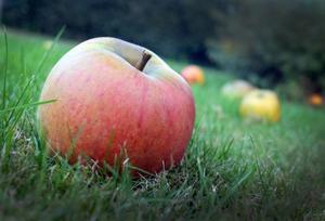 Fallfrukt eller kunskapens äpple? Pisa-undersökningen ger svaret.
