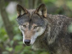 Med en rödgrön regering är risken uppenbar att det svenska rovdjurstrycket fortsätter att öka. Vill de ha 1 500 vargar? 3 000? Eller ska det vara fritt, undrar Anders Häggkvist (C).