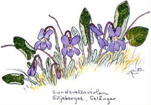 Sundsvallsviol ur  boken Medelpads flora. Målad av Rolf Lidberg