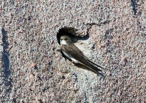 Backsvalorna i Sverige har minskat kraftigt och fågeln är nu rödlistad.