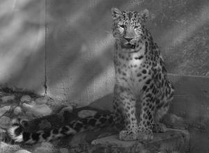 Den annars konstant vandrande Amurleoparden satte sig plötsligt och stirrade rakt på mig. Då var jag snabb på