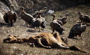 Gamar samlas vid ett kadaver i norra Indien. Ursprungligen tog gamarna hand om cirka 70 procent av alla döda djur på den indiska halvön.    Foto: Channi Anand/AP/TT