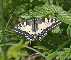 Vi var ute ock gick på en skogsväg den 1 / 6 2010, då fick vi se denna vackra fjäril .