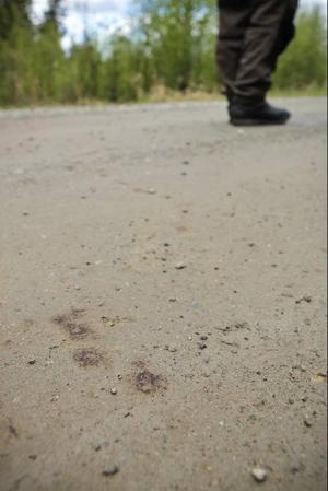 Blodspår visar hur björnen gått över vägen efter att det blivit skjuten mitt i Norrby.