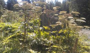 – Förekommer jättebjörnlokan på kommunens mark på Yxlan, exempelvis vid skolan ska den bekämpas, säger Tom Johansson på Norrtälje kommun.