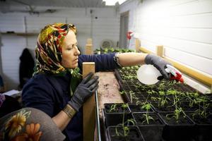 Nu gror det i Kretsloppshusets växthus. Det är deltagarna i Växa som drar upp plant till försläljning. Här ser vi Keshvar Ebrahimi från Afganistan.