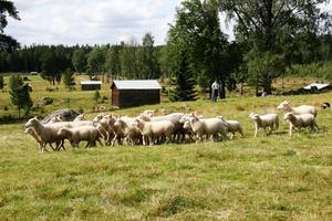 Olle Berglund visade hur man flyttar en fårhjord med hjälp av en vallhund under invigningen av kulturreservatet Våsbo fäbodar på fredagen. Bordercollien Ebba jobbade hårt för att få hjorden dit Olle ville ha den.