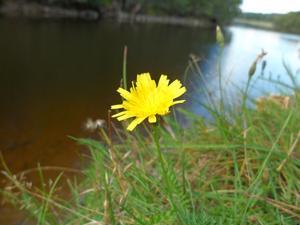 Såg den lilla gula blomman vid kanten av Kolbäcksån.Den sista för i år kanske?