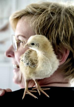 På axeln är det fint att sitta om man är en liten kyckling.