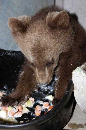 Under de dagar som gått sedan den björnungen anlände till djurparken har den visat allt större aptit och blivit spralligare.