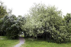Sveriges mest omskrivna äppelträd finns i Gävle.