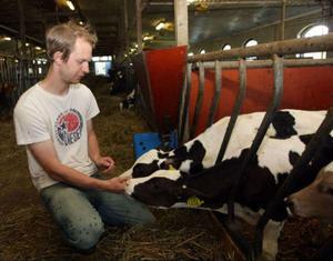 Ingemar Olsson tillsammans med två av hans mjölkkor.