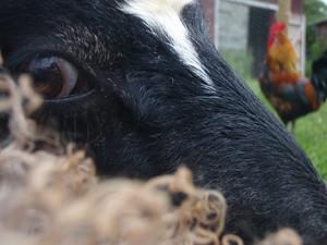 Det gosiga lammet Roger tittar lugnt in i kameran som nästan försvunnit in i hans ull.