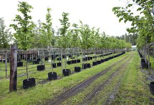 Till skillnad från Sörby Handelsträdgård har Nordplant högsäsong nu under sommaren. Kommuner och kyrkogårdsförvaltningar vill ha både träd och buskar.