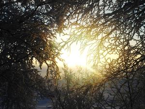Solen lyser genom rimfrostiga träd. Foto: Annika Karlsson