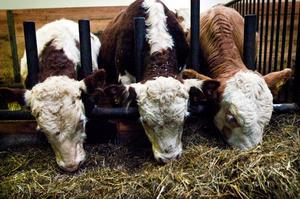 Självförsörjningsgraden av nötkött är lika med den andel av konsumtionen som produceras inom landet.