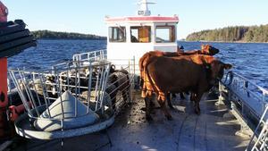 Kajsa  flyttade alla djuren och bohaget på en färja från skärgårdsön Grinda och vidare till  Kvarnbro.