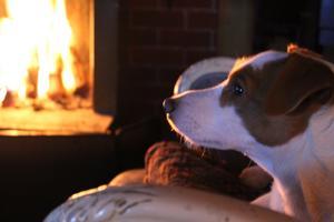 Min hund nära eldstaden.