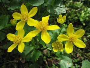 Björnö är ett bra ställe att följa årstidernas växlingar på. Fortfarande finns mycket vitsippor, andra vanliga blommor just nu är violer av olika slag, kabbelekan växer där det är lite surt.
