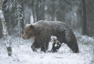 Vid det första snöfallet brukar björnen gå i ide. Liksom grävlingen gillar han inte snö och kyla men det är mest snödjupet som får honom att gå och lägga sig i idet. Här ligger han nu och sover i nästan ett halvår om han bara får vara ostörd.