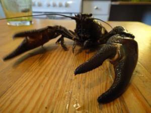 Skörd ifrån årets kräftfiske.