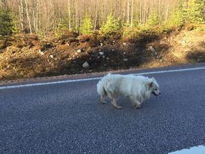 Mikael Gärtner fångade hunden på bild under söndagskvällen.
