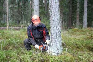 Yngve Hadin gallrar i sin skog ett par kilometer söder om Torsåkers samhälle.