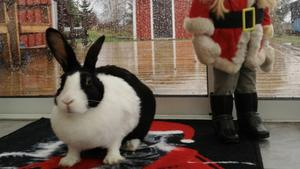 Kaninen Hoppe firar jul i Skultuna.