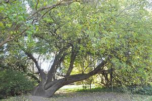 Äppelträdets krondiameter är 17 meter. Sannolikt världens största äppelträd, enligt pomologen Sylve Rolandsson.
